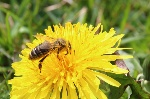 abeja-polinizando-flor-830x553