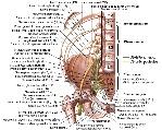 plexolombosacral