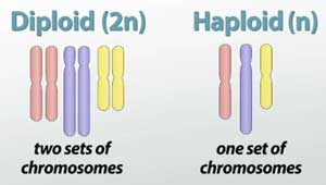 diploid-vs-haploid