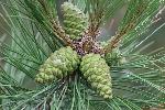 pine-cones-444657_960_720