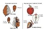 Gimnospermoak eta Angiospermoak