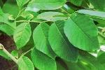 hojas-de-chirimoya