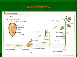 La semilla erna