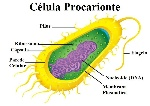 procarionte bacteria