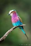 3e10b6382b4bb5e78a6fc3d5a3bfcf04--bird-watching-roller