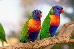 rainbow-lorikeet-pair