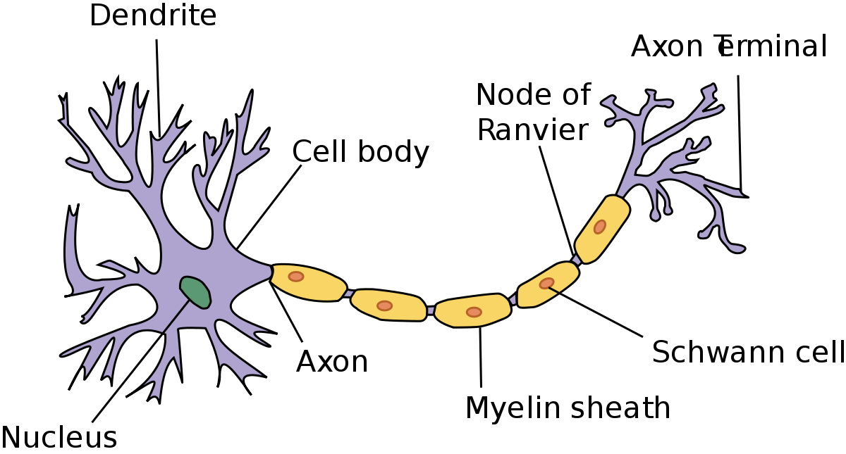 1200px-Neuron.svg