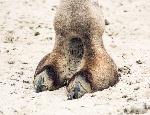 43583589-detail-d-un-sabot-de-chameau-de-bactriane-bactrianus-camelus-thème-des-animaux-