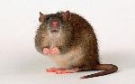 rat_3529999b