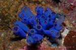 FMI-067 Transparent sea squirt, Rhopalea sp_