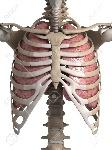 18448807-3d-rindió-la-ilustración-de-los-pulmones-y-el-tórax