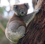 360px-Koala_climbing_tree
