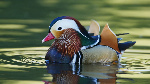 Mandarin-Duck-Bird-Water-Pond-WallpapersByte-com-1366x768