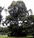 pohon-kapur-dryobalanops-aromatica-3