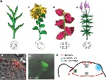Phyllotaxis-the-Relative-Positioning-of-New-Leaves-A-Four-major-phyllotactic-patterns