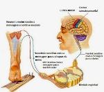 Sistema-Somatossensorial-4