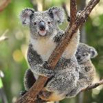 Koala_Bear_With_Baby