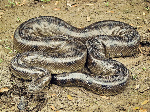 Bolivian-Anaconda-Images