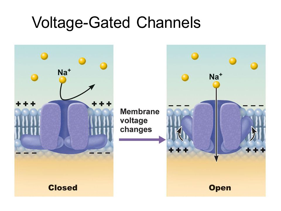 Voltage-Gated+Channels