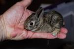 Southern_swamp_rabbit_baby