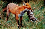 P5_Foxes prey on native animals Source Clive Marks