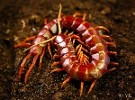 Scolopendra_sp_Hispaniola