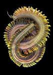 rag worm