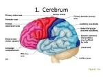 1.+Cerebrum+Figure+7.13c