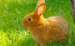 relaxed-rabbit-desktop-background