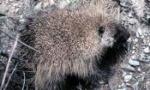 porcupine-350