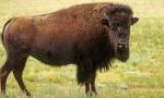 bison-350