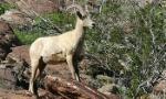 bighorn-sheep-350