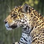 Jaguar_circle_image_(c)_David_Lawson_WWF_UK