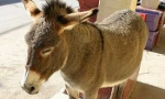 wild-burro-350