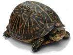1200px-Florida_Box_Turtle_Digon3_re-edited