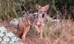 coyote-350