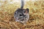 chinchilla-como-mascota