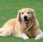 golden-retriever-dog-1364426710r9x1