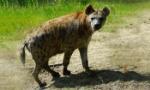 hyena-350