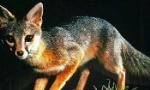 gray-fox-350