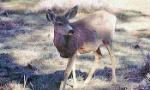 mule-deer-350