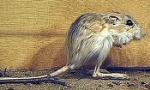 kangaroo-rat-350