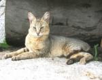 mèo ri