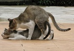 cats_mating