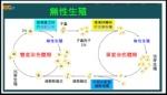 繁殖-酵母菌複雜的出芽生殖