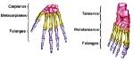 huesos-cortos-del-cuerpo-humano