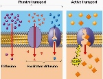 transport across membrane