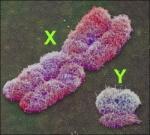 genética - cromossomos sexuais (2)