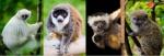 cover-lemur