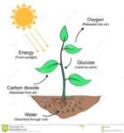 ejemplo-de-proceso-de-la-fotosíntesis-89735421